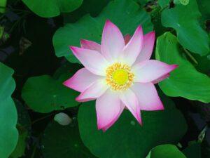 Lotus is niet enkel een koekjesbedrijf maar ook een prachtige bloem.